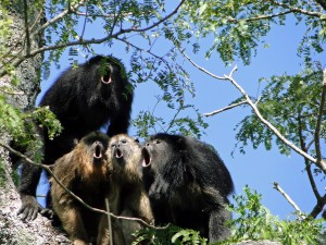 A chorus of howler monkeys of the species Alouatta caraya.