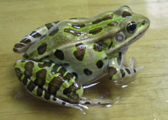University of Utah researchers used leopard frogs like the one shown here to measure tiny voltages from single brain cells and learn how those cells learn to detect short sounds. Distinguishing short sounds from longer sounds is essential for humans to understand each other's speech and for animals to recognize each other's calls.