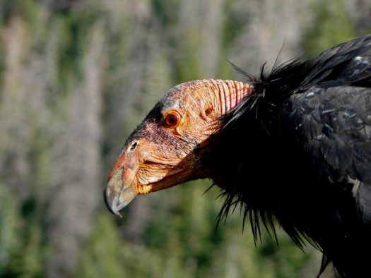 An adult critically endangered California Condor that was released into the wild in the Grand Canyon region of Arizona. California Condor populations are recovering across North America with extensive conservation efforts after reaching a population low of only 22 individuals in the 1980's.