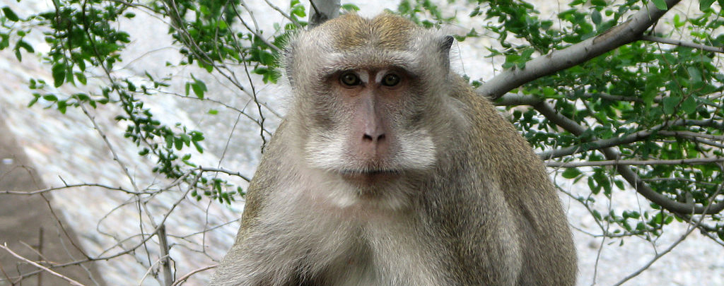 A crab-eating macaque, one of the many mammals that can be found on Luzon Island.