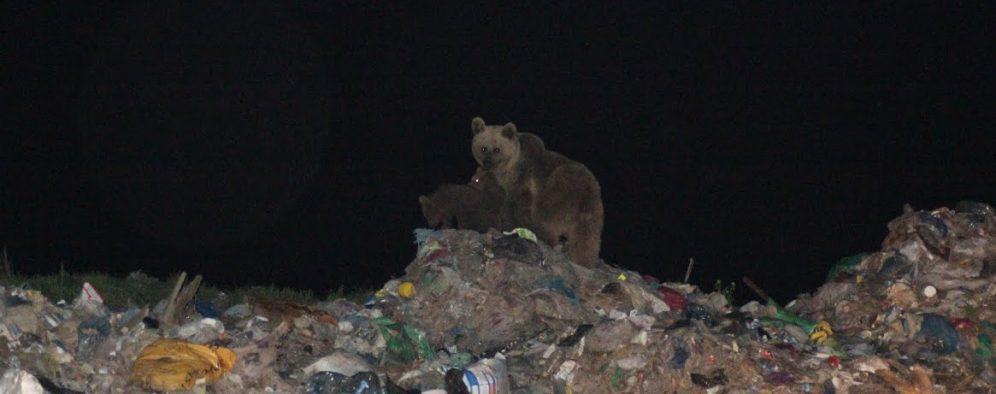 Bear at Garbage Dump_2_CS_cropped
