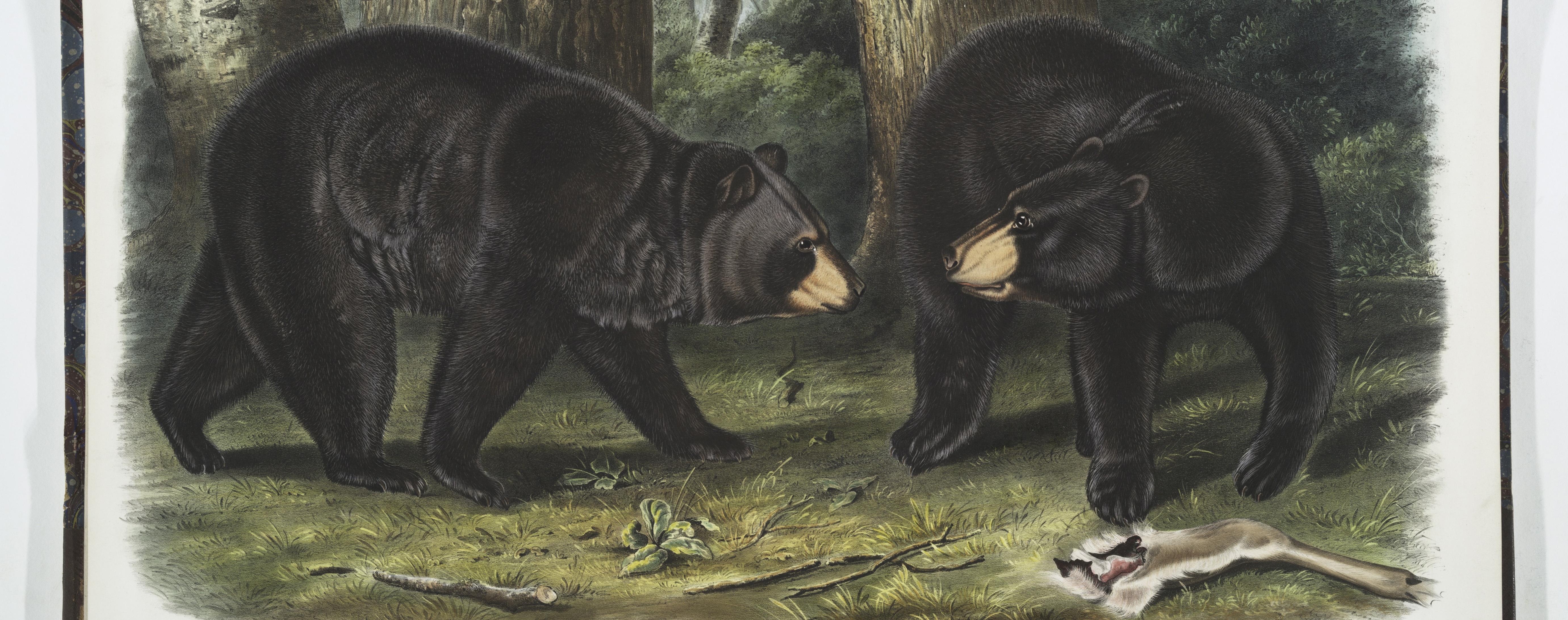 Audubon Quadrupeds Black Bear_feature