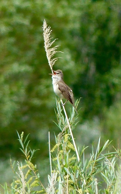 A great reed warbler.