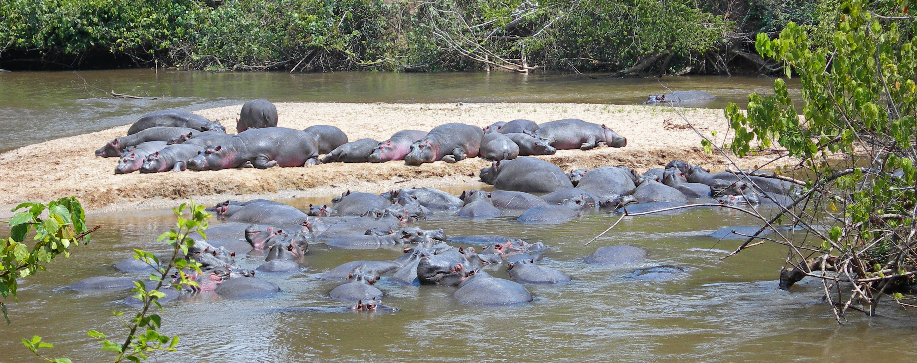Hippos in Queen Elizabeth National Park, 2009.