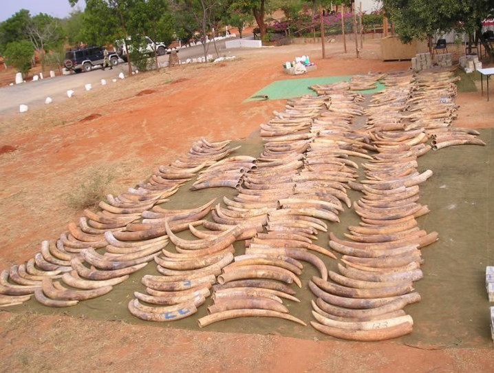 Tracing the ivory trail   UNews UNews   University of Utah Clues in poached ivory yield ages and locations of origin